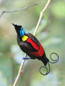 oiseaux de paradis-3