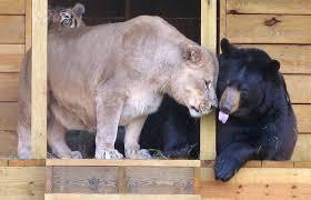 La lionne et l'ourse