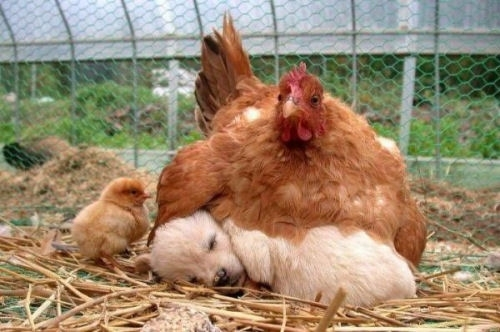 mère poule un jour mére poule toujours