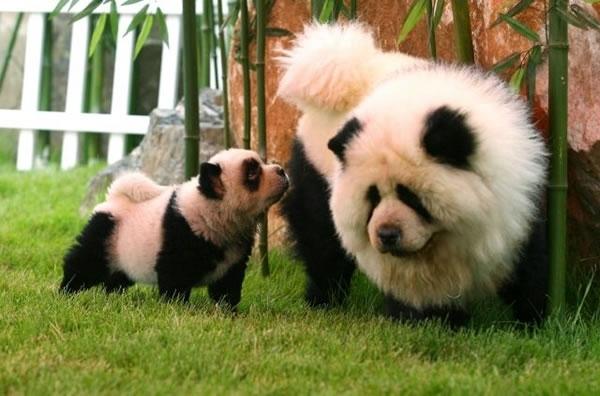 un chien panda